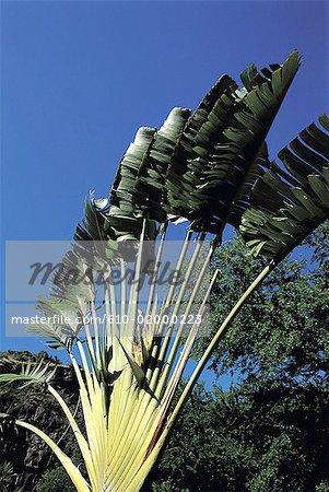 Réunion, palmier du voyageur