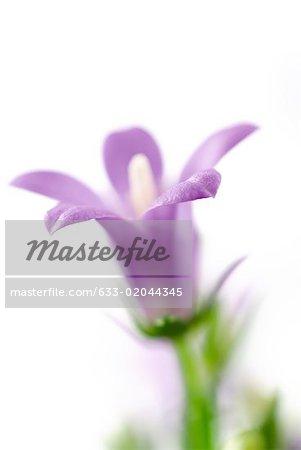 Violet fleur ballon, gros plan