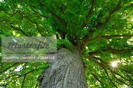 Faible vue d'angle d'arbre de marronnier d'Inde