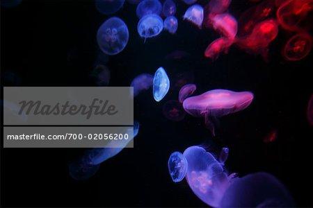 Jellyfish in Aquarium, Sydney, Australia