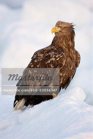 White-tailed Eagle on Ice Floe, Nemuro Channel, Shiretoko Peninsula, Hokkaido, Japan