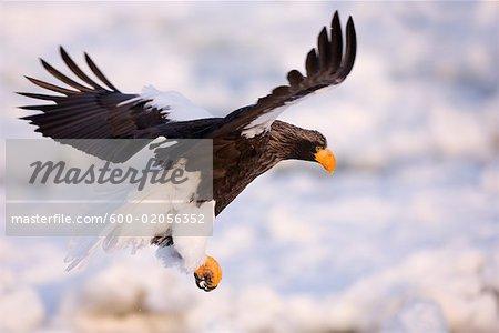Steller's Sea Eagle Flying, Nemuro Channel, Shiretoko Peninsula, Hokkaido, Japan