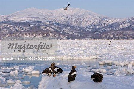 Steller's Sea Eagles on Ice Floe, Nemuro Channel, Shiretoko Peninsula, Hokkaido, Japan