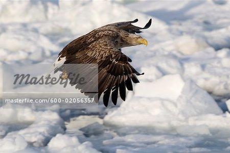 White-tailed Eagle in Flight, Nemuro Channel, Shiretoko Peninsula, Hokkaido, Japan