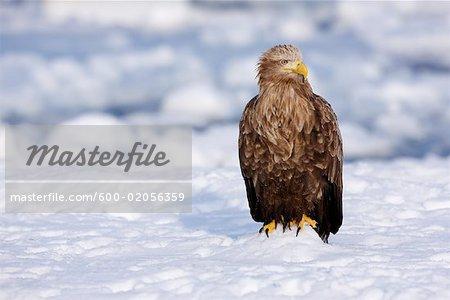 White-tailed Eagle, Nemuro Channel, Shiretoko Peninsula, Hokkaido, Japan
