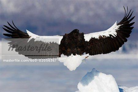 Steller's Sea Eagle Landing on Ice Floe, Nemuro Channel, Shiretoko Peninsula, Hokkaido, Japan