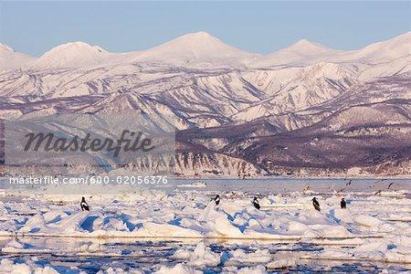Steller's Sea Eagles and White- Tailed Eagles on Ice Floe, Nemuro Channel, Shiretoko Peninsula, Hokkaido, Japan
