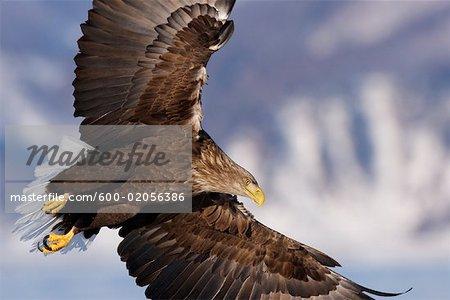 White-tailed Eagle en vol, canal de Nemuro, péninsule de Shiretoko, Hokkaido, Japon