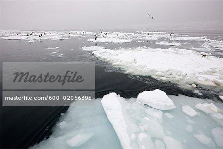 Steller's Sea Eagles on Ice Floes Nemuro Channel, Shiretoko Peninsula, Hokkaido, Japan