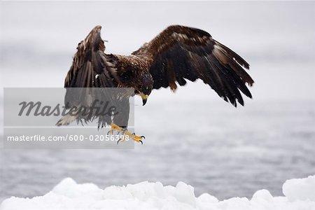 White-tailed Eagle Landing on Ice Floe, Nemuro Channel, Shiretoko Peninsula, Hokkaido, Japan