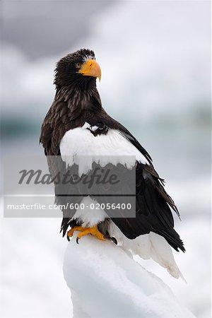Steller's Sea Eagle, Nemuro Channel, Shiretoko Peninsula, Hokkaido, Japan
