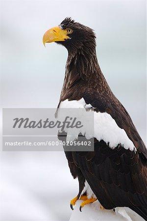 Sea Eagle, canal de Nemuro, péninsule de Shiretoko, Hokkaido, Japon de Steller