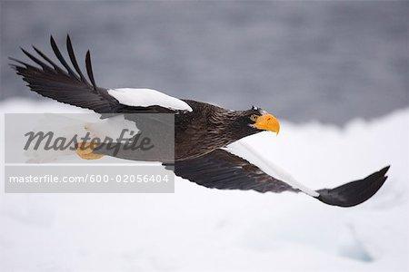 Steller's Sea Eagle in Flight, Nemuro Channel, Shiretoko Peninsula, Hokkaido, Japan