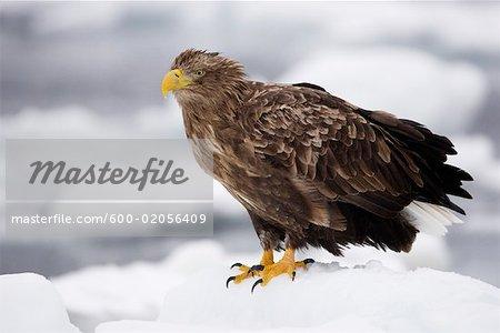 White-tailed Eagle, canal de Nemuro, péninsule de Shiretoko, Hokkaido, Japon