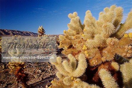 Cholla Cactus, Joshua Tree National Park, Californie, USA