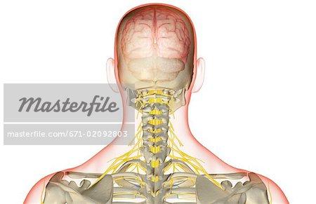 Die Versorgung der Nerven des Kopfes und des Halses - Stockbilder ...