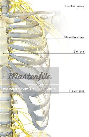 Die Versorgung der Nerven des thorax - Stockbilder - Masterfile ...