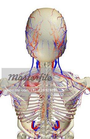 Die Blutversorgung des Kopfes und der Schultern - Stockbilder ...