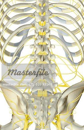 Die Nerven der unteren Rücken - Stockbilder - Masterfile - Premium ...