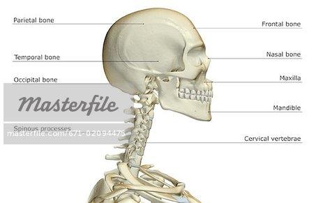 Die Knochen des Kopfes und des Halses - Stockbilder - Masterfile ...