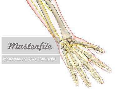Die Nerven der hand - Stockbilder - Masterfile - Premium RF ...