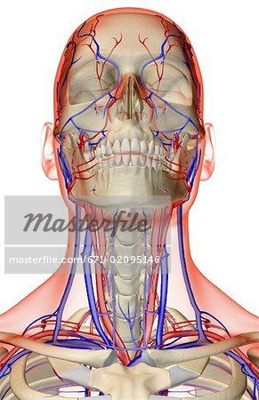 Ausgezeichnet Blutgefäße Im Hals Bilder - Anatomie Von Menschlichen ...