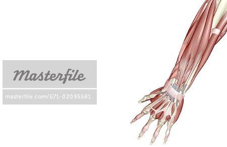 Die Muskeln der Unterarm - Stockbilder - Masterfile - Premium RF ...