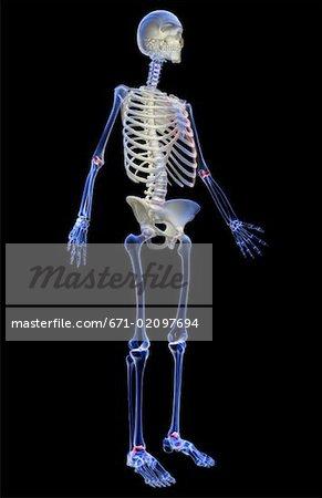 Das Skelettsystem - Stockbilder - Masterfile - Premium RF Lizenzfrei ...
