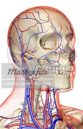 Die Blutversorgung von Kopf, Hals und Gesicht - Stockbilder ...