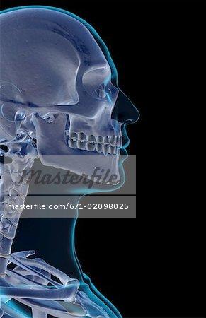 Die Knochen von Kopf und Gesicht - Stockbilder - Masterfile ...