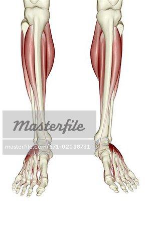 Muskeln der Unterschenkel und Fuß - Stockbilder - Masterfile ...