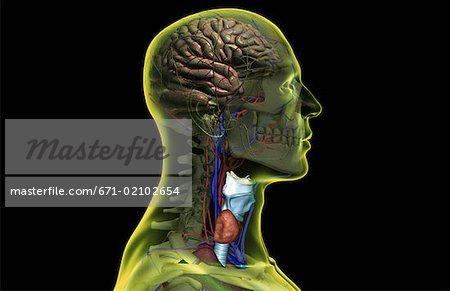 Die Nerven und Blut Versorgung von Kopf und Hals - Stockbilder ...