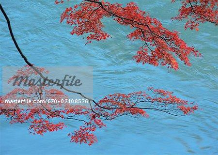 Rouge des feuilles d'érable dans l'eau