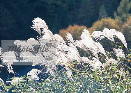Argentez l'herbe japonais