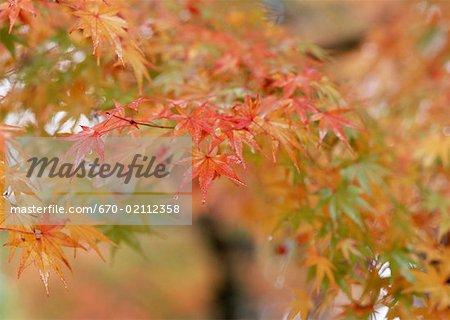 Coloration rouge des feuilles d'érable