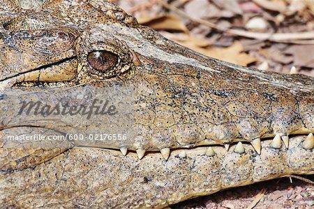 Gros plan des crocodiles d'eau douce, territoire du Nord, Australie