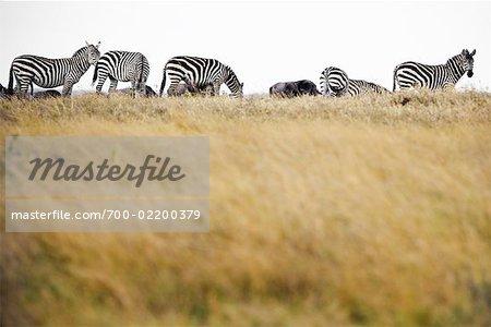 Zèbres, Parc National de Samburu, au Kenya