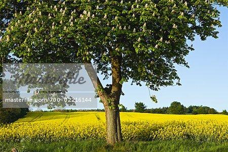 Châtaigniers de Canola champ, Panker, Plon, Schleswig-Holstein, Allemagne