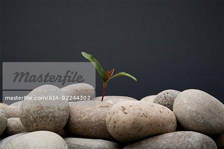 Bäumchen wachsen aus Kieselsteinen