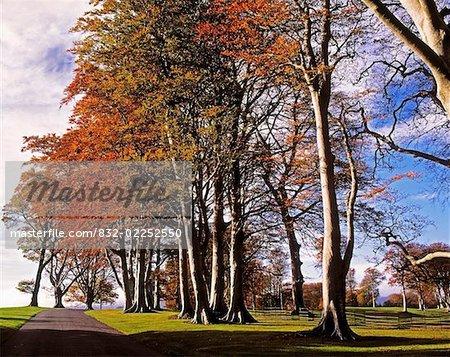 Beech Trees on Entrance Avenue, Powerscourt House & Gardens, Co Wicklow, Ireland