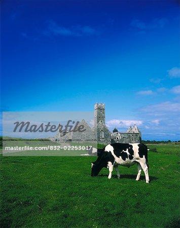 Frisonnes Bullock, Ross Errilly Friary, Headford, comté de Galway, Irlande