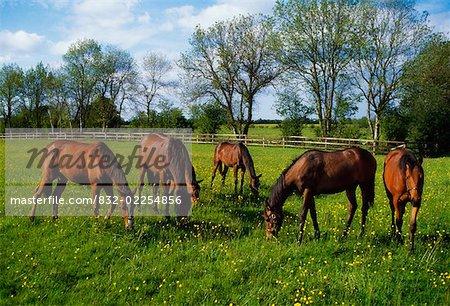 Pur-sang chevaux, Yearlings, Irlande