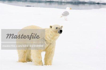 Eisbär auf Packeis