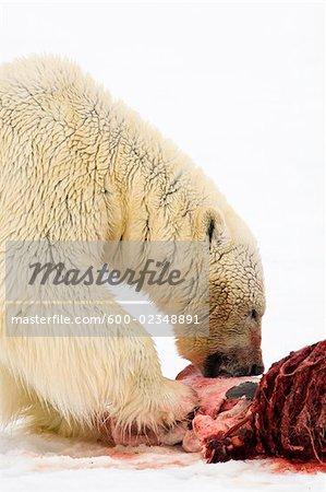 Eisbär Essen einen Siegel-Kadaver