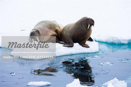 Walrosse auf dem Treibeis