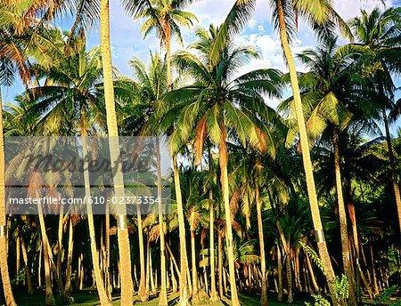 Polynésie française, l'île de Moorea, cocotiers au crépuscule