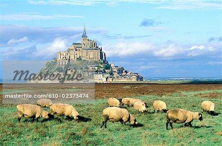 France, Normandie, Mont-Saint-Michel, vue d'ensemble et moutons « prâ salâ »