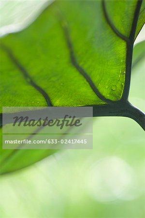 Face inférieure des feuilles et des veines, gros plan