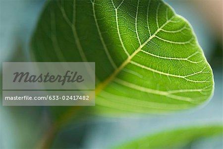 Leaf veins, close-up