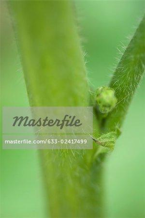 Nœud avec bourgeon foliaire et les stipules, les très gros plan de la tige